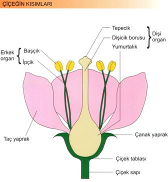 Bitkinin üreme organlarını tanıyalım