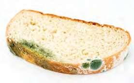 Ekmekteki Küf Mantarı