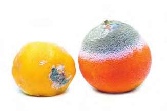 Meyvedeki Küf Mantarı