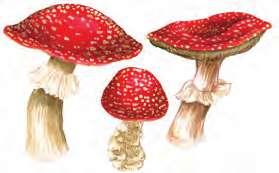 Şapkalı Mantarlar
