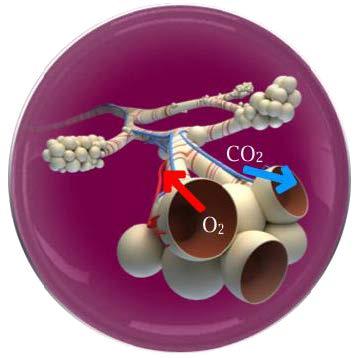 Alveollerde Gaz Değişimi