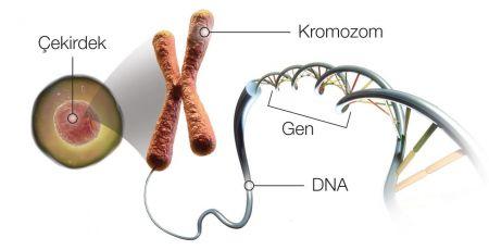 Hücre - Çekirdek - Kromozom - DNA - Gen