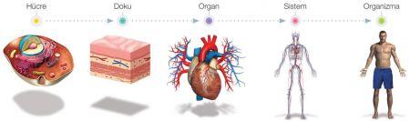 Hücreden Organizmaya