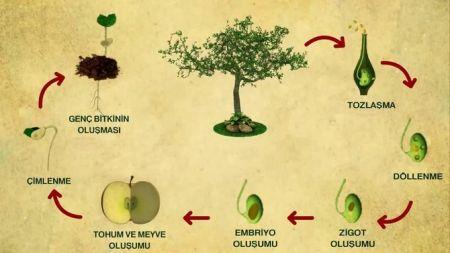 Bitkinin Hayat Döngüsü