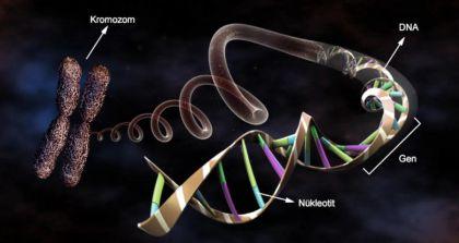 Kromozomdan -> Nükleotide