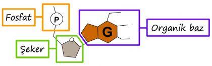 Nükleotidin Yapısı