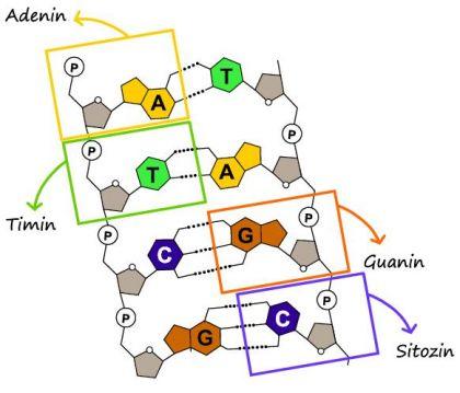 DNA'da Bulunan Nükleotidler