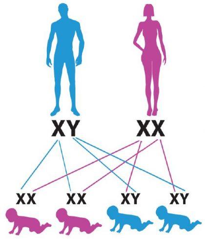 İnsanda Cinsiyet Kromozomları