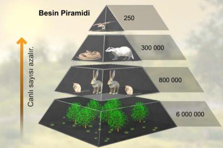 Besin Piramidi - Canlı Sayısı İlişkisi