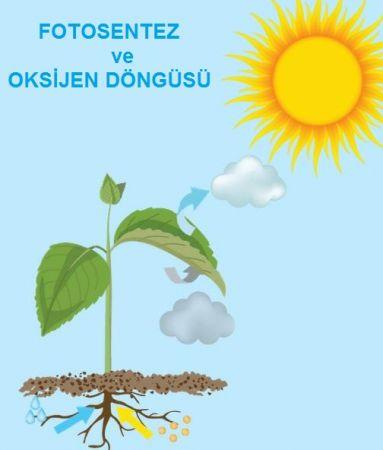 Fotosentez ve Oksijen Döngüsü