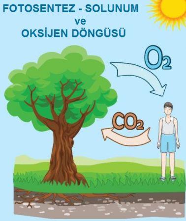 Fotosentez-Solunum ve Oksijen Döngüsü