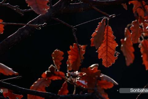 Yapraklar Neden Renk Değiştirir (Sararır)?