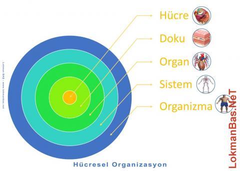 Hücresel Organizasyon - Hücreden Organizmaya