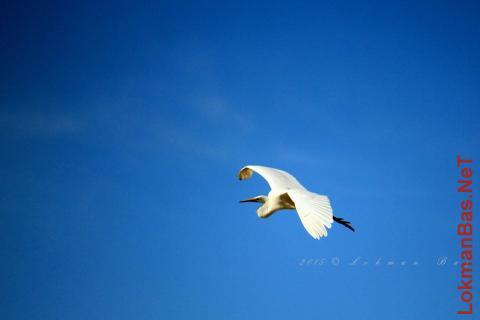 Beyaz Balıkçıl