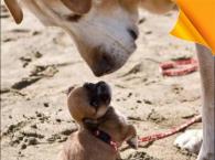 Dünya'nın En Küçük Köpeği Hangisidir?