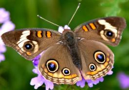 Kelebekler Ne Kadar Yaşar
