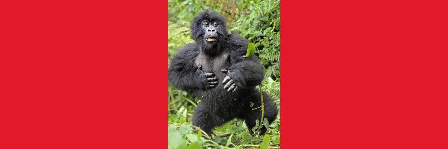 Goriller Nerede Uyurlar?